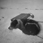 Sledge dog in snow hole. Wright photo